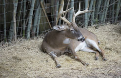 White Tailed Deer Buck. Odocoileus virginianus resting peacefully royalty free stock photo