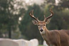 White-tailed deer buck. Whitetailed deer buck in Jefferson Barracks National Cemetery near St. Louis, Missouri Stock Photos