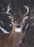 White-tailed deer buck. In winter in Canada royalty free stock photos