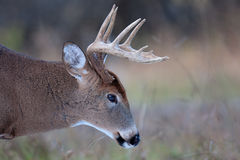 White-tailed deer buck. In winter Stock Photos