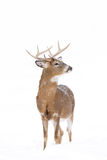 White-tailed deer buck. In winter Stock Images