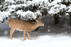White-tailed deer buck. In winter Stock Image