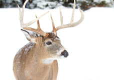 White-tailed deer buck Stock Photos