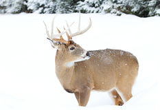 White-tailed deer buck Stock Image