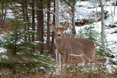 White-tailed deer buck. In winter Stock Photography