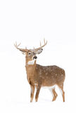 White-tailed deer buck in winter Royalty Free Stock Image
