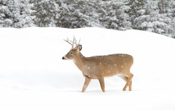 White-tailed deer buck in winter Stock Images