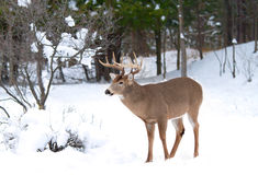 White-tailed deer buck in winter Royalty Free Stock Photos