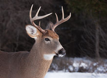 White-tailed deer buck in the snow Royalty Free Stock Images