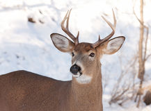 White-tailed deer buck in the snow Stock Photos