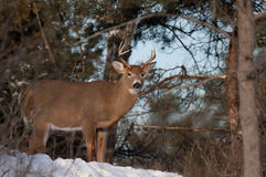 White-tailed deer buck in the snow Royalty Free Stock Photos