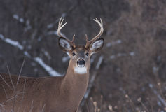 White-tailed deer buck in the snow Stock Photo