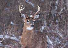 White-tailed deer buck in the snow Royalty Free Stock Image