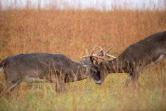 White-tailed deer bucks sparring Stock Photography