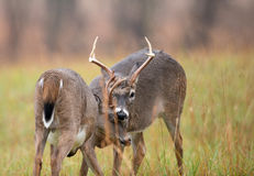 White-tailed deer bucks sparring Stock Image