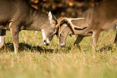 White-tailed deer bucks Royalty Free Stock Photo