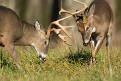 White-tailed deer bucks Stock Photo