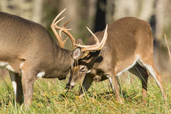 White-tailed deer bucks Stock Photos