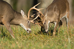 White-tailed deer bucks Stock Photography