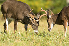 White-tailed deer bucks Stock Images