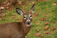 White tailed deer button buck eating Royalty Free Stock Photography