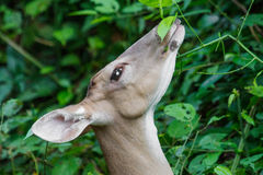 White-tailed deer close up profile Stock Photos