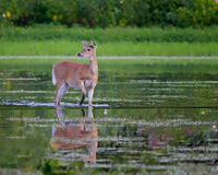 White-tailed Deer Stock Photography