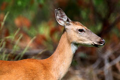 White-tailed Deer Doe Royalty Free Stock Images