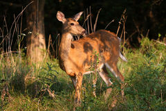 White-tailed Deer Doe Stock Image