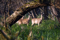 White-tailed Deer Doe Stock Images