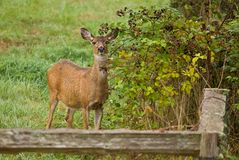 White-tailed Deer doe Stock Photography