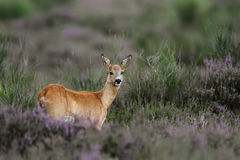 White-tailed Deer Doe. In a field of heather Stock Image