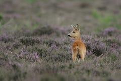 White-tailed Deer Doe. Standing between heather Royalty Free Stock Image