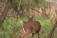 White-tailed Deer doe Royalty Free Stock Photos