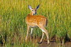 White-tailed Deer Doe Royalty Free Stock Photo
