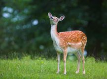 White-tailed deer - doe Stock Photo