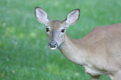 White-tailed Deer Doe Stock Photos