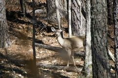 White-tailed Deer doe camo in woods at quota hunt. White-tailed Deer, Odocoileus virginianus, female doe camouflaged in woods in Red Top Mountain State Park Royalty Free Stock Photo