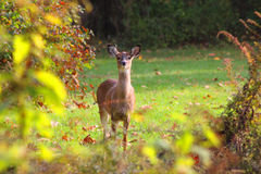 White Tailed Deer Doe In A Clearing In The Woods. White Tailed Deer doe --Odocoileus Virginianus -- photographed, in a tiny clearing in the woods. Females are royalty free stock photos