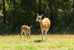 White-tailed Deer doe and fawn Stock Photo