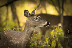 White Tailed Deer Stock Images