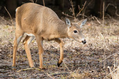 White-tailed Deer. Doe walking in the mud. Lynde Shores Conservation Area, Whitby, Ontario, Canada Royalty Free Stock Photography