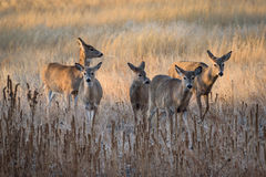 White-tailed Deer Does Moving At Sunrise. A group of white-tailed deer does moving through a frosty field at sunrise royalty free stock photos
