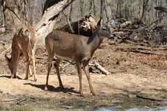 White-tailed Deer Royalty Free Stock Photography