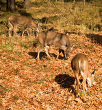 White-tailed deer eating Stock Photos
