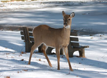 White-tailed Deer eating food at park on snow Stock Image