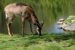 White tailed deer eating grass. White tailed deer grazing on grass near the edge of a pond Stock Image