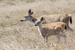 White-Tailed Deer Family Royalty Free Stock Image