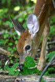 White tailed deer fawn Stock Photos