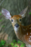 White tailed deer fawn Royalty Free Stock Images